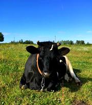 Коровка Молочная