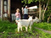 продаю коз и козлят зааненской породы,  дер Зембин,  район Борисова